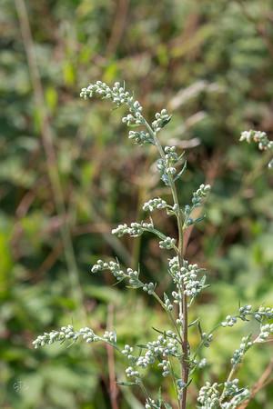 Armoises (Artemisia)