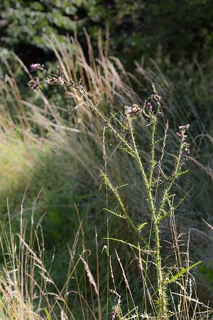 Cirses (Cirsium)