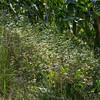 Matricaire camomille (Matricaria recutita)