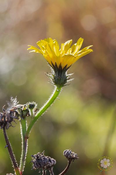 Picride fausse épervière (Picris hieracioides)