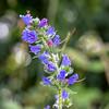 """Vipérine commune ( Echium vulgare )<br /> <br /> La couleur de ses fleurs varie  de roses pour les boutons à bleu vif pour les fleurs à maturité.<br /> Elles ont 5 étamines inégales saillantes (à filets rouges et anthères jaunes).<br /> <br /> La tige poilue est couverte de taches brunes d'où partent des poils.<br /> <br /> Nassogne / Ambly / Chapelle Notre-Dame aux champs :<br /> <br />  <a href=""""https://mapsengine.google.com/map/edit?mid=z8asQTxTvzYQ.kAWyDuysNsUY"""">https://mapsengine.google.com/map/edit?mid=z8asQTxTvzYQ.kAWyDuysNsUY</a>"""
