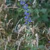"""Vipérine commune ( Echium vulgare )<br /> <br /> Plante dressée de 30 à 90 cm de haut, aux belles fleurs bleues disposées en grappes au sommet de la tige.<br /> <br /> Elle apprécie les sols maigres, même caillouteux, et plutôt calcaires.<br /> <br /> Nassogne / Ambly / Chapelle Notre-Dame aux champs :<br /> <br />  <a href=""""https://mapsengine.google.com/map/edit?mid=z8asQTxTvzYQ.kAWyDuysNsUY"""">https://mapsengine.google.com/map/edit?mid=z8asQTxTvzYQ.kAWyDuysNsUY</a>"""