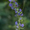 """Vipérine commune ( Echium vulgare )<br /> <br /> La couleur de ses fleurs varie  de roses pour les boutons à bleu vif pour les fleurs à maturité.<br /> <br /> La tige poilue est couverte de taches brunes d'où partent des poils.<br /> <br /> Nassogne / Ambly / Chapelle Notre-Dame aux champs :<br /> <br />  <a href=""""https://mapsengine.google.com/map/edit?mid=z8asQTxTvzYQ.kAWyDuysNsUY"""">https://mapsengine.google.com/map/edit?mid=z8asQTxTvzYQ.kAWyDuysNsUY</a>"""