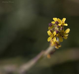 Sisymbres (Sisymbrium)