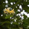 Ses fleurs sont d'abord blanches avant de passer au jaune avant de fâner.