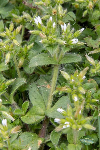 Céraiste aggloméré (Cerastium glomeratum)