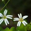 """Stellaire holostée (Stellaria holostea)<br /> <br /> Plante à 5 pétales blancs qui sont fendus sur la moitié de leur longueur.<br /> Il y a 10 étamines.<br /> La fleur a 25 mm de large<br /> <br /> Bois de Mont-Gauthier :<br /> <br />  <a href=""""https://mapsengine.google.com/map/edit?mid=z8asQTxTvzYQ.kt2hspGFKehY"""">https://mapsengine.google.com/map/edit?mid=z8asQTxTvzYQ.kt2hspGFKehY</a>"""
