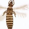 Pollinisateur : Ceratothrips ericae