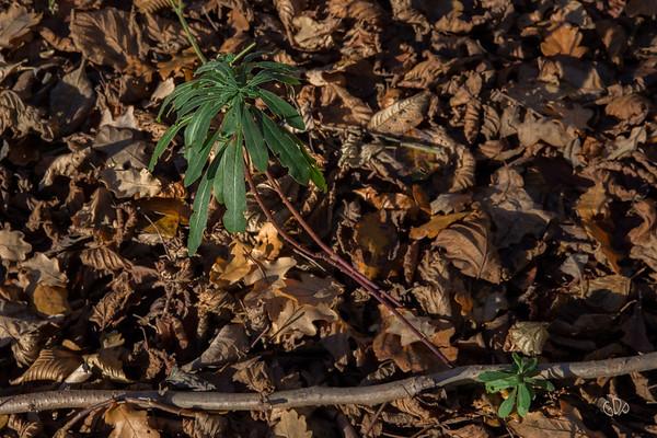 Euphorbe des bois en hiver