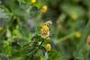 Luzerne lupuline (Medicago lupulina)<br /> <br /> fleurs très petites regroupées en grappe.