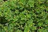 Luzerne lupuline (Medicago lupulina)<br /> <br /> Plante mesurant de 15 à 60 cm de haut