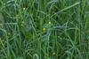 """Luzerne lupuline (Medicago lupulina)<br /> <br /> Elle est souvent cultivée comme plante fourragère.<br /> On la retrouve souvent au bord des chemins, surtout sur sol calcaire.<br /> <br /> Durbuy / Morville / Bord d'un chemin<br /> <br />  <a href=""""https://mapsengine.google.com/map/edit?mid=z8asQTxTvzYQ.kz1RUuX_SqSo"""">https://mapsengine.google.com/map/edit?mid=z8asQTxTvzYQ.kz1RUuX_SqSo</a>"""