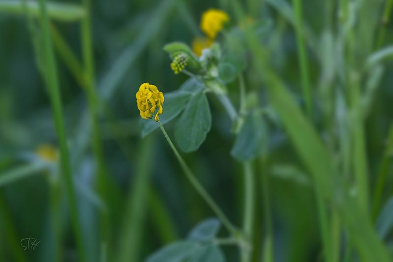 """Luzerne lupuline (Medicago lupulina)<br /> <br /> Les fleurs jaunes, très petites, sont groupées en grappes sphériques compactes.<br /> <br /> Durbuy / Morville / Bord d'un chemin<br /> <br />  <a href=""""https://mapsengine.google.com/map/edit?mid=z8asQTxTvzYQ.kz1RUuX_SqSo"""">https://mapsengine.google.com/map/edit?mid=z8asQTxTvzYQ.kz1RUuX_SqSo</a>"""
