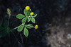 Luzerne lupuline (Medicago lupulina)