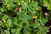 Luzerne lupuline (Medicago lupulina)<br /> <br /> feuilles trifoliolées; folioles ovales et dentées au sommet