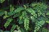Les feuilles sont grandes (25 cm) composées de 9 à 21 folioles ovales et molles.