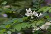 Les fleurs sont blanches, en grappes pendantes parfumées de 10 à 25 cm de long.<br /> Le nectar de ces fleurs produit un miel de grande qualité.