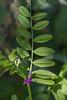 Vesce cultivée (vicia sativa)<br /> <br /> Glabre<br /> 3 à 9 paires de folioles (ici : 7)