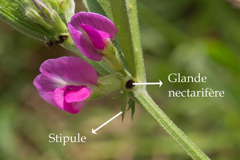 Stipules et glandes
