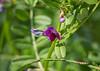 """Vesce cultivée (vicia sativa)<br /> <br /> La fleur est rose pourpre<br /> <br /> Elle a 5 pétales ; le pétale dressé a la forme d'un étendard. La forme générale de la corolle rappelle un papillon. <br /> <br /> Durbuy / Morville / bordure d'un chemin<br /> <br />  <a href=""""https://mapsengine.google.com/map/edit?mid=z8asQTxTvzYQ.kztUjhD3OrAE"""">https://mapsengine.google.com/map/edit?mid=z8asQTxTvzYQ.kztUjhD3OrAE</a>"""