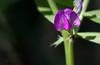 Vesce cultivée (vicia sativa)<br /> <br /> Les fleurs sont rose pourpre et font de 12 à 15 mm.<br /> Grappe courte (2 à 6 fleurs seulement - contrairement aux autres vesces), naissant à l'aisselle des feuilles.<br /> Les feuilles de sepium (la vesce des haies) sont d'une forme ovoïde et les fleurs plus pâles