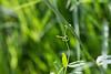 """Vesce cultivée (vicia sativa)<br /> <br /> La feuille se termine par une vrille qui va s'agripper à une autre plante pour l'utiliser comme tuteur.<br /> <br /> Durbuy / Morville / bordure d'un chemin<br /> <br />  <a href=""""https://mapsengine.google.com/map/edit?mid=z8asQTxTvzYQ.kztUjhD3OrAE"""">https://mapsengine.google.com/map/edit?mid=z8asQTxTvzYQ.kztUjhD3OrAE</a>"""