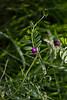 """Vesce cultivée (vicia sativa)<br /> <br /> La fleur, la feuille et la vrille terminant celle-ci.<br /> <br /> Durbuy / Morville / bordure d'un chemin<br /> <br />  <a href=""""https://mapsengine.google.com/map/edit?mid=z8asQTxTvzYQ.kztUjhD3OrAE"""">https://mapsengine.google.com/map/edit?mid=z8asQTxTvzYQ.kztUjhD3OrAE</a>"""