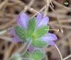 Géranium mou (Geranium molle)