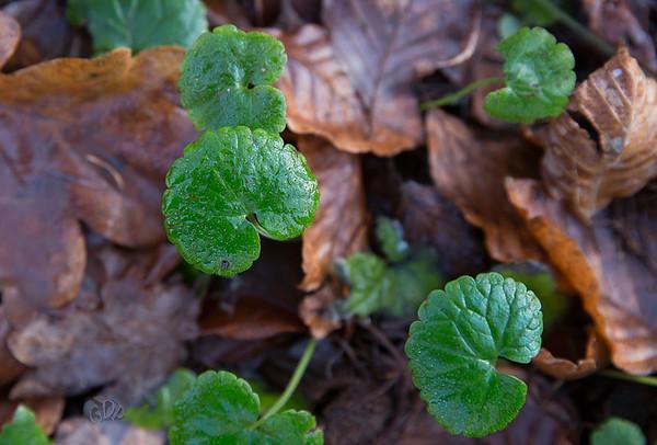 Les feuilles du Lierre terrestre en hiver