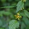 Lamier jaune ou Ortie jaune (Lamium galeobdolon)  Les fleurs jaunes ont deux lèvres : la lèvre supérieure est concave La lèvre inférieure possède trois lobes, le lobe central est rayé d'orange. Les feuilles sont opposées.  ---------- Mai : dernière semaine Rochefort > Bois de Mont-Gauthier  https://mapsengine.google.com/map/edit?mid=z8asQTxTvzYQ.kftb-5-HgVwM ----------
