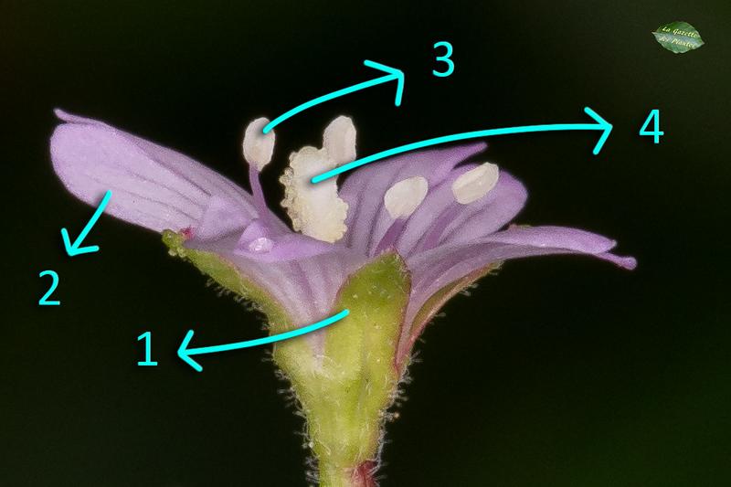 Épilobe cilié (Epilobium ciliatum)