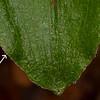Épipactis à fleurs pendantes (Epipactis phyllanthes)