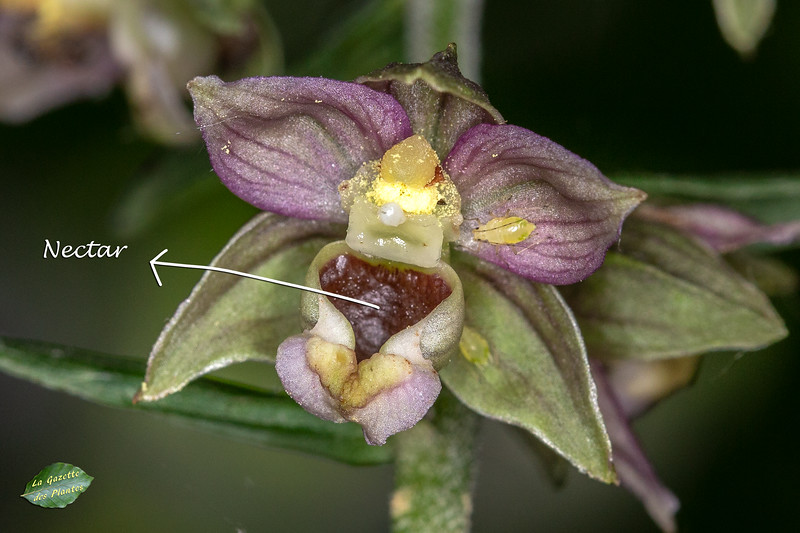 Épipactis à larges feuilles (Epipactis helleborine)