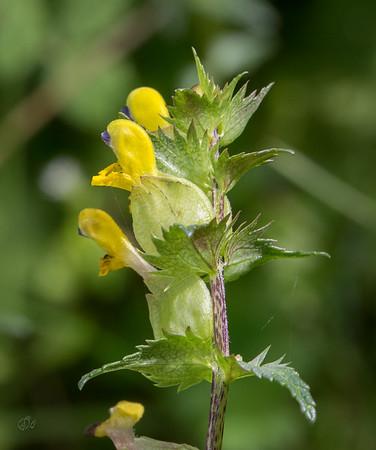 Petit Rhinanthe (bois de Graide - commune de Bièvre)