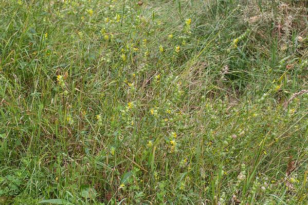 Les Rhinanthes poussent de préférence dans les milieux herbeux