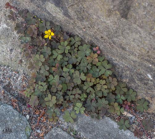 L'Oxalide corniculée (Oxalis corniculata) contient de l'oxalate de calcium, comme beaucoup de plantes de la famille des Oxalidacées