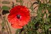 Pavot douteux<br /> <br /> Fleurs de 3 à 7 cm, plus orangées que les coquelicots