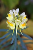 Bonlez - Bois de Bonlez<br /> <br /> Grappes de fleurs munies d'un éperon orienté vers le bas