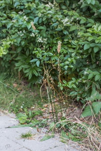 Le Plantain lancéolé a un excellent système de défense contre les Rhinanthes