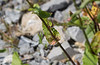 """Oseille des prés ( Rumex acetosa )<br /> <br /> Les feuilles sont sagittées (en forme de flèche) et les supérieures sont embrassantes<br /> <br /> <br /> Durbuy / Wéris / Bord d'un chemin et prairie<br /> <br />  <a href=""""https://mapsengine.google.com/map/edit?mid=z8asQTxTvzYQ.kp3JoZrftUdQ"""">https://mapsengine.google.com/map/edit?mid=z8asQTxTvzYQ.kp3JoZrftUdQ</a>"""