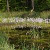 Hottonie des marais (Hottonia palustris)