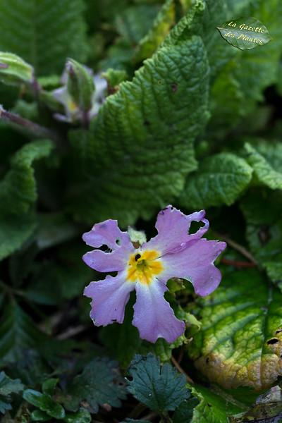 Primevère acaule (Primula vulgaris) : cultivar