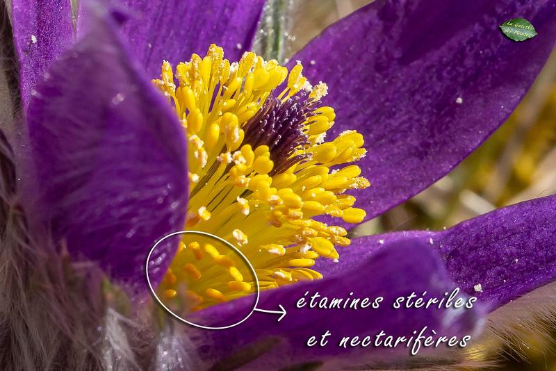 Anémone pulsatille (Anemone pulsatilla)