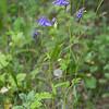 """Ancolie vulgaire (Aquilegia vulgaris)<br /> <br /> C'est une plante ramifiée, aisément reconnaissable à ses fleurs en forme de cloches penchées vers le sol.<br /> <br /> Elle a de 30 à 80 cm de haut, et pousse dans les endroits pas trop ombragés (plante héliophile) : lisières de forêts ou bords de chemins forestiers<br /> <br /> Lieu :<br /> <br />  <a href=""""https://mapsengine.google.com/map/edit?mid=z8asQTxTvzYQ.kbFVK2WiqpsA"""">https://mapsengine.google.com/map/edit?mid=z8asQTxTvzYQ.kbFVK2WiqpsA</a>"""