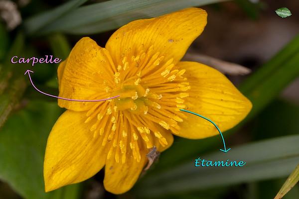 Chez le Populage des marais, les glandes nectarifères sont situées à la base des carpelles