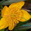Populage des marais (Caltha palustris)