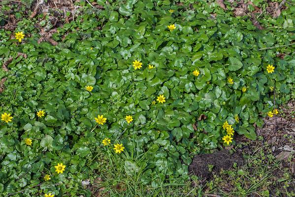 La Ficaire fleurit en mars