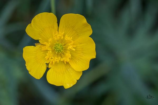 Fleur de la Renoncule âcre