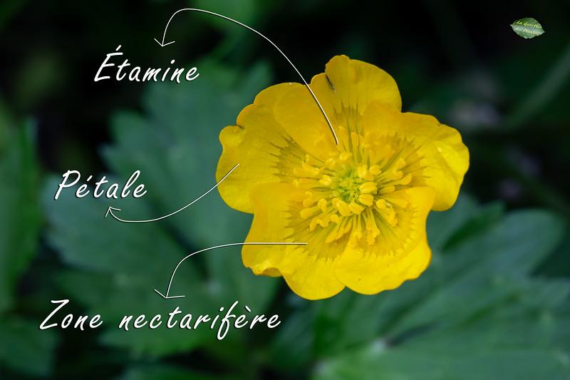 Renoncule rampante (Ranunculus repens)