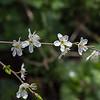 Les feuilles ne commencent à apparaître qu'à la fin de la floraison. C'est une caractéristique qui permet de différencier le prunellier de l'aubépine.  ---------- Avril : deuxième semaine Woluwe > Val d'Or https://www.google.com/maps/d/edit?mid=z52WJnt5atcY.kC5JHNvSrsA4 ----------